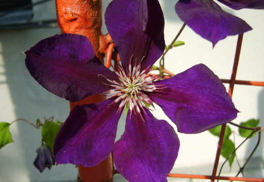 Floare clematis violet mare deschisa