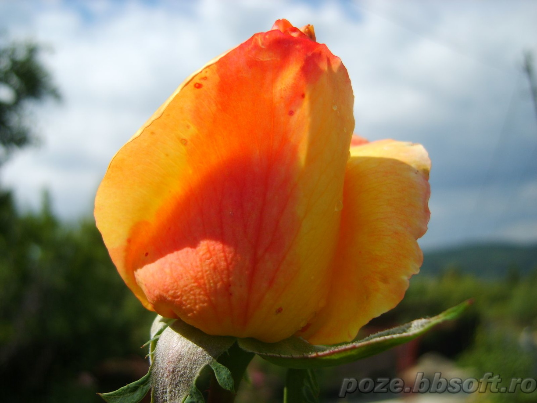 56. Gönülçelen -Inima furata - Heart Stealer - General Discussions - Comentarii - Pagina 39 Boboc+de+trandafir+galben-rosu+-+macro