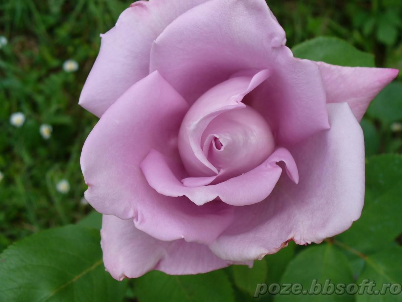 56. Gönülçelen -Inima furata - Heart Stealer - General Discussions - Comentarii - Pagina 2 Floare+trandafir+mov+aproape+deschis